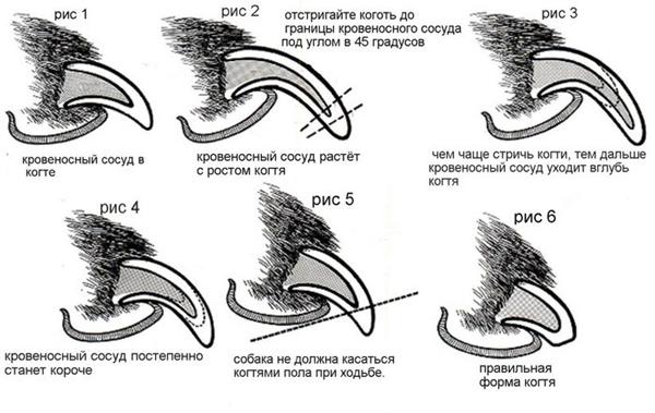 Особенности подстригания когтей папильона