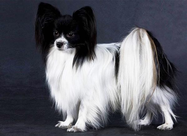 Папильон – очень красивая собака