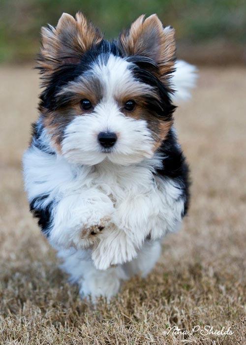 бивер фото собака